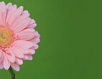 Pink African daisy Stock Image
