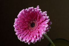 Pink African daisy Stock Photography