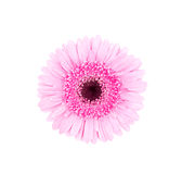 Pink african daisy isolated Royalty Free Stock Photo