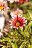 Pink African daisy, Osteospermum Ecklonis Royalty Free Stock Photo
