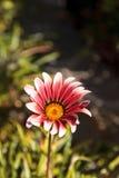 Pink African daisy, Osteospermum Ecklonis Royalty Free Stock Photography