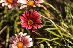 Pink African daisy, Osteospermum Ecklonis Stock Image