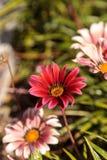 Pink African daisy, Osteospermum Ecklonis Stock Photography