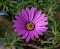 Pink African Daisy Osteospermum jucundum Stock Photography