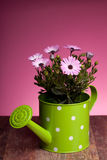 Pink African Daisy In Watering Pot Royalty Free Stock Images