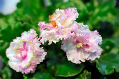 Pink african violet Stock Photography