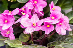 Pink African Violet flowers with leaves Stock Images