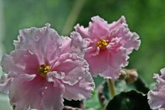 Pink African Violet. Pink flowers stock photos