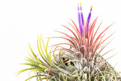 Pink air root plant in bloom with purple flowers  Royalty Free Stock Photo