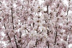 Pink airy japanese sakura or cherry blossom in spring. Soft, gentle, flower background royalty free stock photo