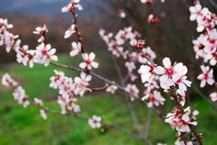 Pink almond blossom Royalty Free Stock Photo