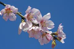Pink almond blossom Royalty Free Stock Photography