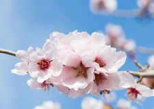 Pink almond blossom Stock Image