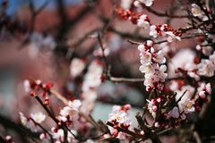 Pink almond cherry blossom or sakura. Flower in Japan. Spring time flowers background royalty free stock photography