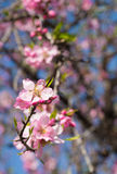 Pink almond flowers Royalty Free Stock Image