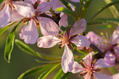 Pink almond flowers close up. Pink almond flowers and green leaves close up Royalty Free Stock Photography