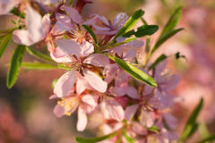 Pink almond flowers close up. Pink almond flowers and green leaves close up Stock Photos