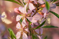 Pink almond flowers close up. Pink almond flowers and green leaves close up Royalty Free Stock Photo