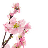 Pink almond flowers  on white background Royalty Free Stock Photo