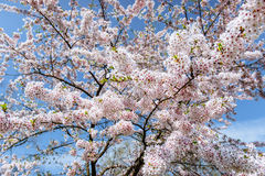 Pink almonds cherry flower close-up. Spring time flowers backgro Royalty Free Stock Photo