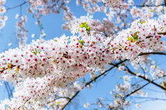 Pink almonds cherry flower close-up. Spring time flowers backgro Royalty Free Stock Photography