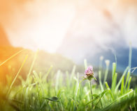 Pink alpine meadow against mountains and sunlight sky Royalty Free Stock Image