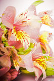 Pink alstroemeria Royalty Free Stock Photo