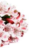 Pink Alstroemeria Stock Image
