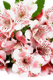 Pink Alstroemeria Stock Photo