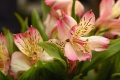 Pink alstroemeria Royalty Free Stock Photo
