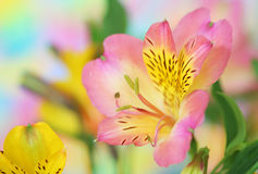 Pink  alstroemeria flower Stock Image