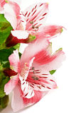 Pink Alstroemeria Stock Photo