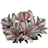 Pink alstroemeria flowers drawing Stock Images