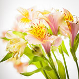 Pink alstroemeria isolated Stock Photo