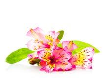Pink alstroemeria isolated Stock Image