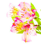 Pink alstroemeria isolated Stock Photography