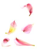 Pink alstroemeria lilies Royalty Free Stock Photo