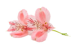 Pink alstroemeria Royalty Free Stock Photography