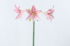 Pink amaryllis Stock Photos