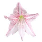 Pink amaryllis Royalty Free Stock Images