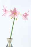 Pink amaryllis Stock Photo