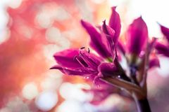 Pink amaryllis flower on orange bokeh background