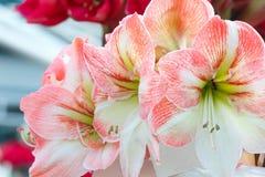 Pink Amaryllis flowers Royalty Free Stock Photo