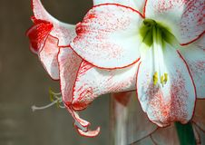 Pink Amaryllis flowers Stock Photography