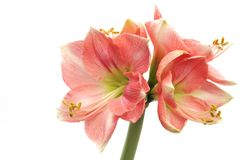 Pink Amaryllis Novella on white Royalty Free Stock Photography