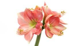 Pink Amaryllis Novella on white. Pink Amaryllis Novella isolated on white background royalty free stock photography