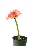 Pink Amaryllis Novella on white. Pink Amaryllis Novella isolated on white background royalty free stock photos
