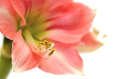 Pink Amaryllis Novella on white Stock Images