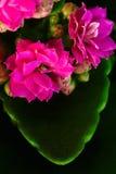 Pink amaryllises Stock Photography