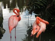 Pink American Flamingos in Florida Royalty Free Stock Photos